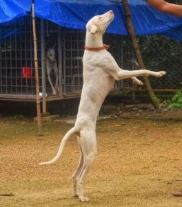 Rajapalayam dog jumping