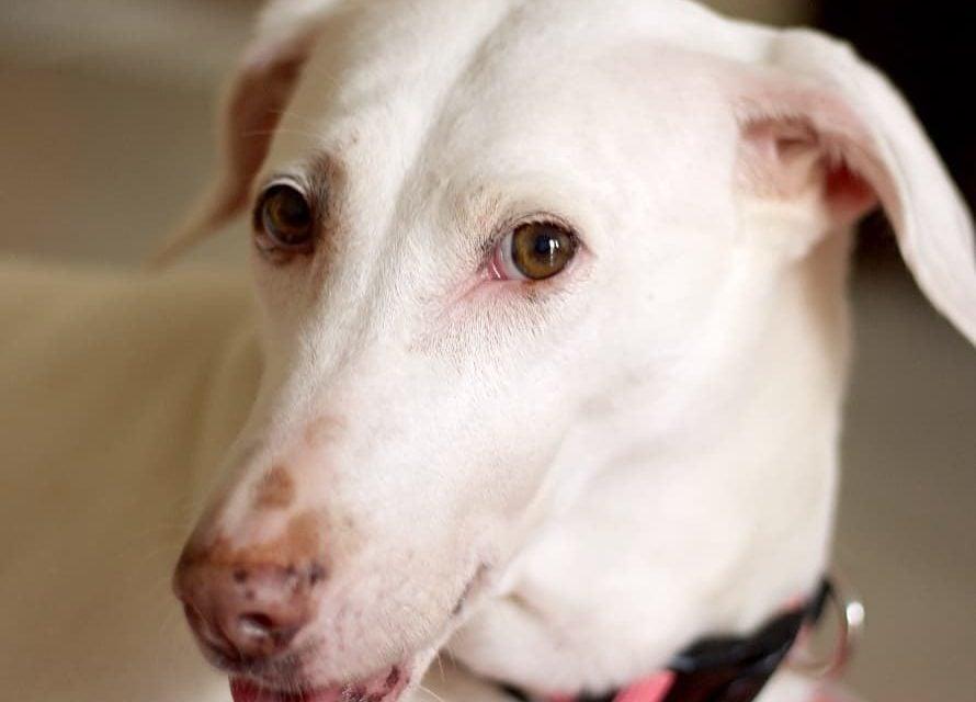 Rajapalayam Dog. A comprehensive breed guide