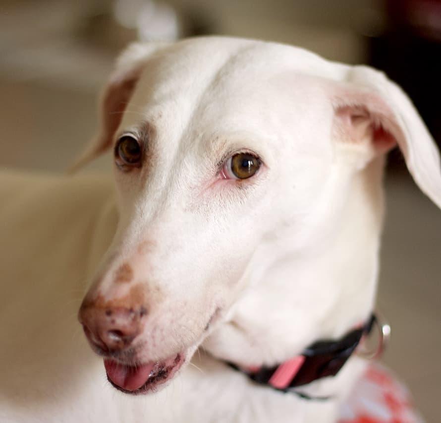 Image of a Rajapalayam dog