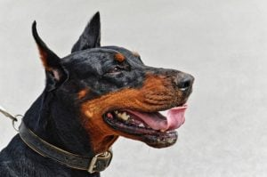 Image of Dobermann dog