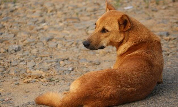 Indian Pariah dog! The Desi dog