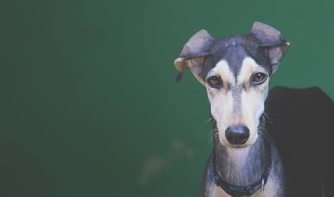Chippiparai Dog. India's fastest dog