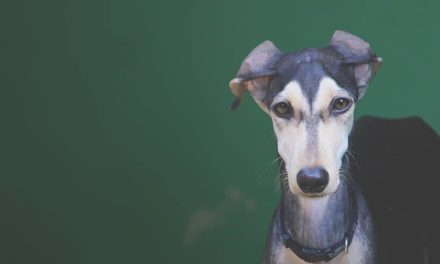 Facts about the Kanni Dog, the Indian Greyhound