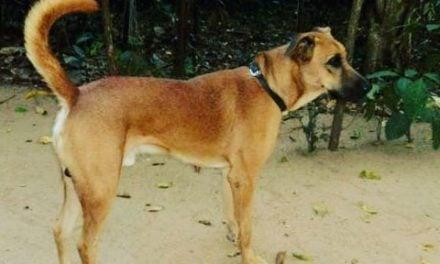 The Kombai Dog. The Indian war dog