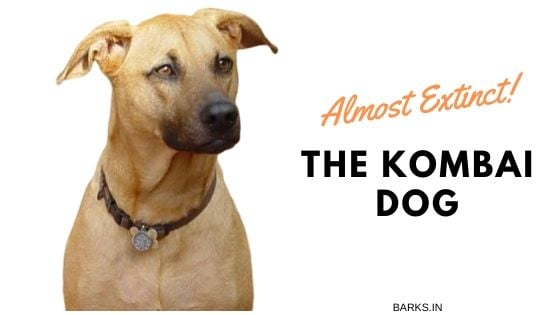 Kombai dog almost extinct