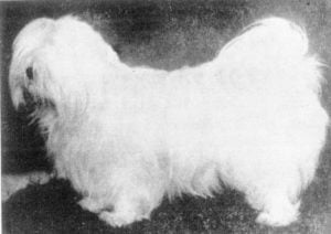 1910 photo of a Lhasa Apso in Tibet