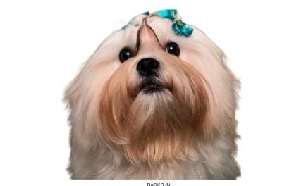 Lhasa Apso Dog. Traits, pictures, detailed information, and more.