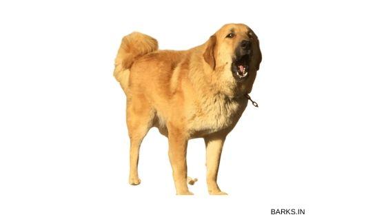Bakharwal dog barking