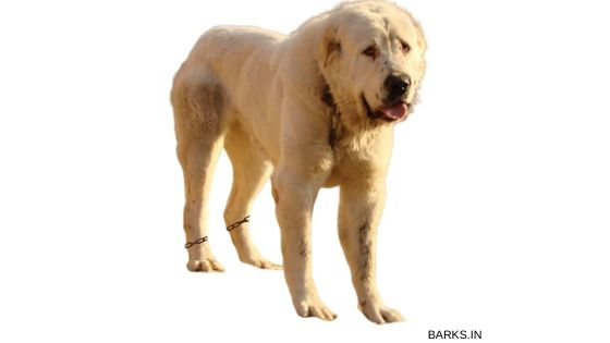 Big Kuchi dog