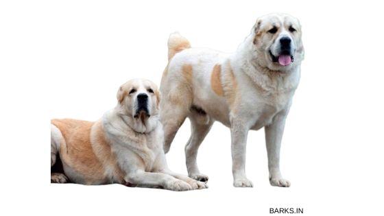 Big Kuchi dogs