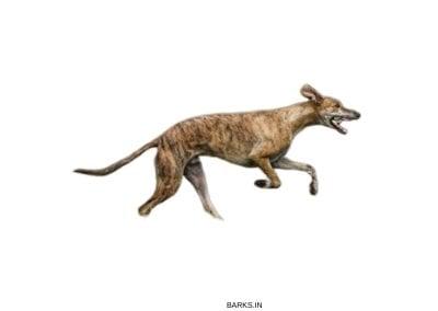 Brindle Mudhol Hound Running