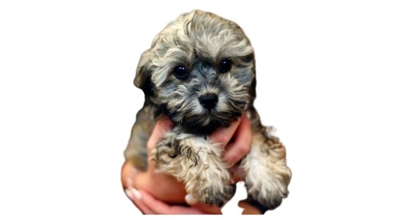 Caring for a Lhasa apso