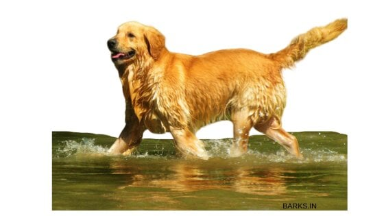 Dog soaking its legs