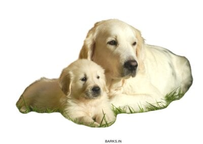 Golden Retriever father and son