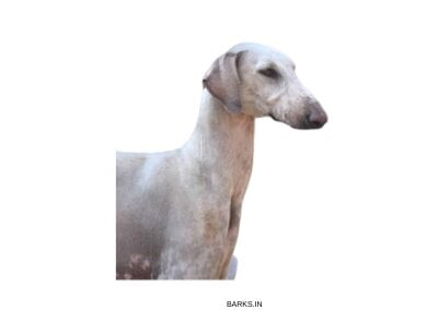 Head of Mudhol Hound
