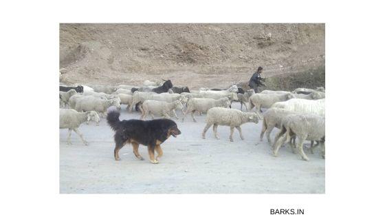 Himalayan sheepdog shepherding
