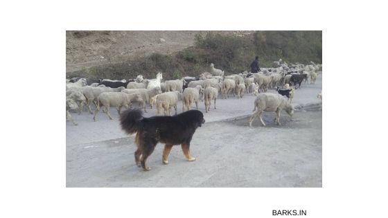 Gaddi Kutta shepherding