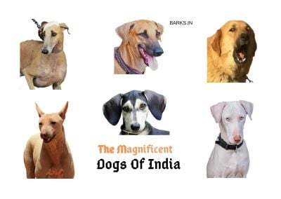Indian dog breeds. The forgotten dogs of INDIA!
