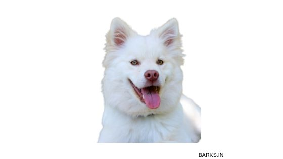 Indian Spitz happy