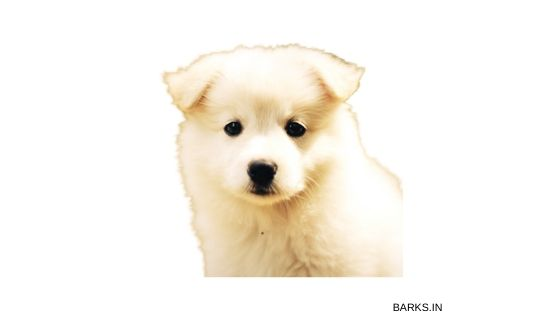 Indian Spitz, one of the top dogs in Indian