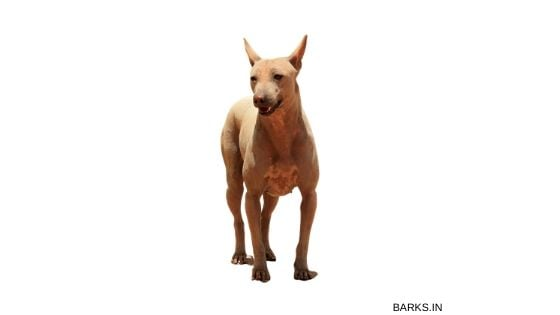 Jonangi dog profile