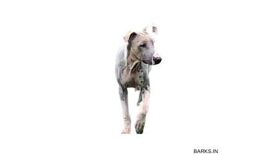 Jonangi dog sub-adult