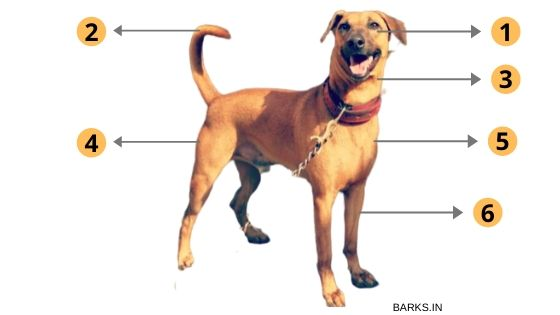 The physical traits of a Kombai dog