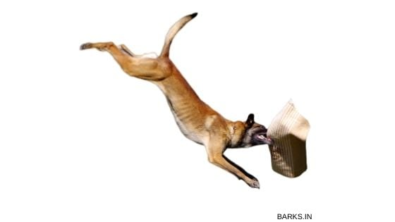 Kombai dog jumping