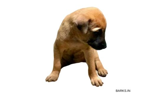 Kombai puppy for sale