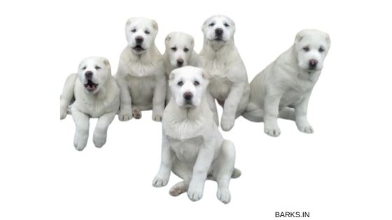 Kuchi Dog Puppies