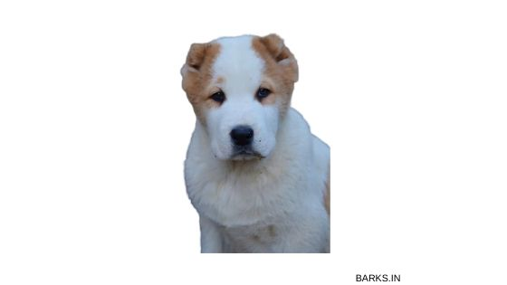 Kuchi Dog Puppy