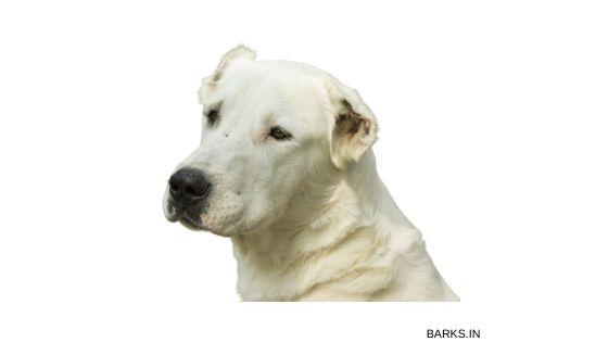 Kuchi dog profile