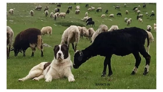 Kuchi dog shepherding