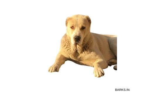 Kuchi dog white