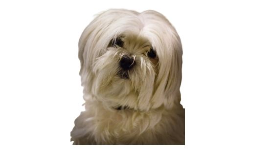 Lhasa Apso with coat