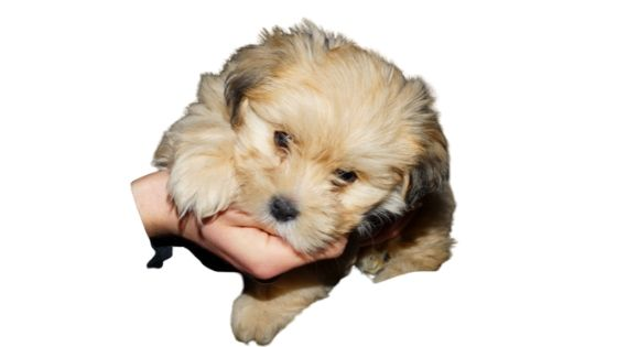 Lhasa Apso as a human companion