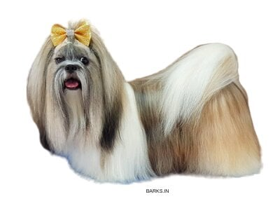 Lhasa Apso traits