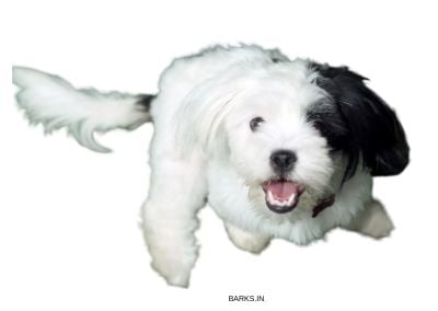 Image of a black and white Lhasa Apso