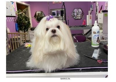 Lhasa Apso on grooming table