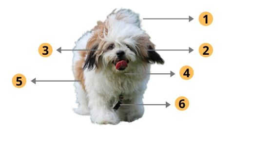 Lhasa Apso physical traits
