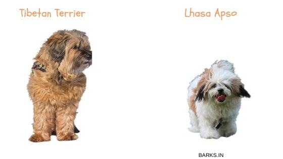 Lhasa Apso versus Tibetan Terrier image comparison