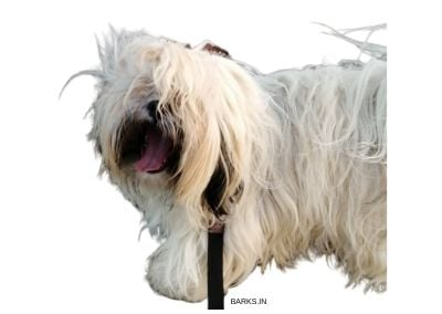 Lhasa Apso with mats