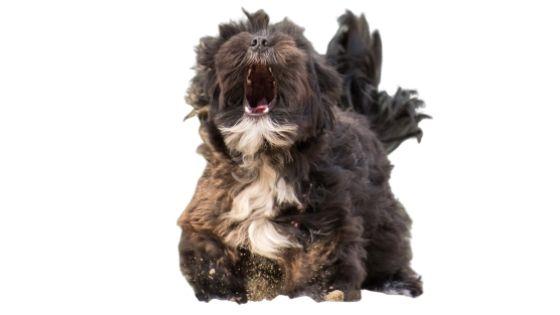 Lhasa Barking Angrily