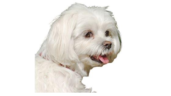 Lhasa Apso pups barking