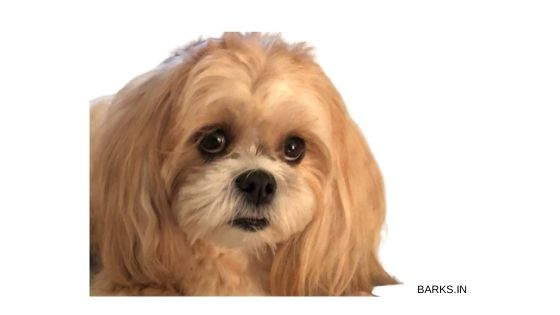 Golden Lhasa Apso with wide eyes