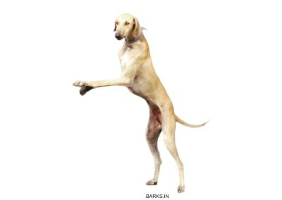 Mudhol Hound on two legs