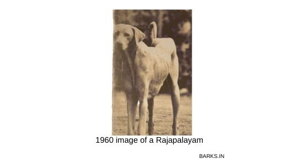 Old image of a Rajapalayam Poligar hound