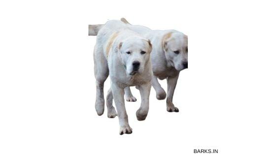 Pair of Big Kuchi dogs