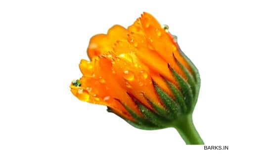 Pot Marigold for dog itchy skin