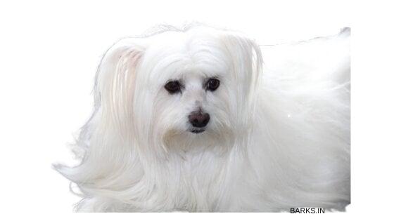 Pure white Lhasa Apso